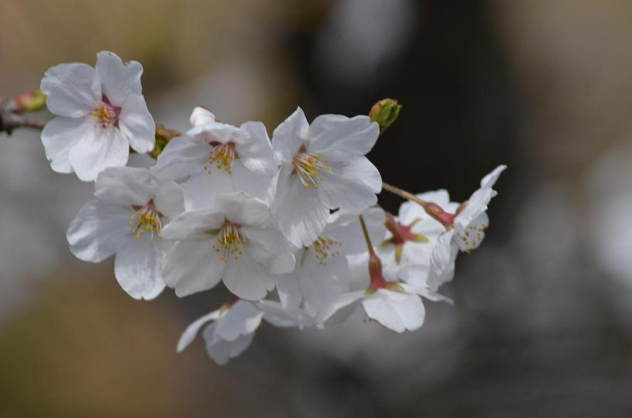 DSC_3986種松山の桜