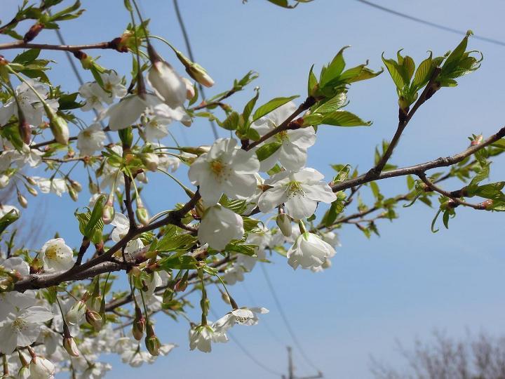 DSCN8432大島桜