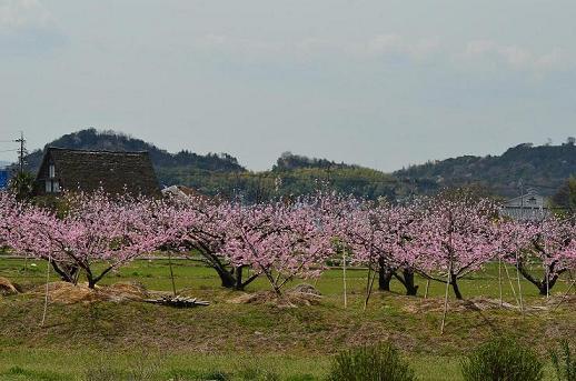 DSC_4279桃の花と塔見の茶屋