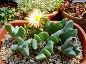 ケイリドプシス 神風玉(しんぷうぎょく)( Cheiridopsis pillansii )吊るしていたら忘れていて水やりたっぷりしました♪奥の蕾が翌日ばっちり1つだけ咲いています♪2014.03.08
