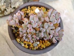 グラプトペタルム パキフィルム(Graptopetalum pachyphyllum)1年以上経っているのに大して増えていない(ToT)/~~~小型のグラプト~♪2014.03.12