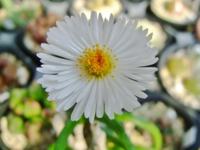 モニラリア オブコニカ (Monilaria obconica)ピカピカ開花ちゅ~♪2014.03.04