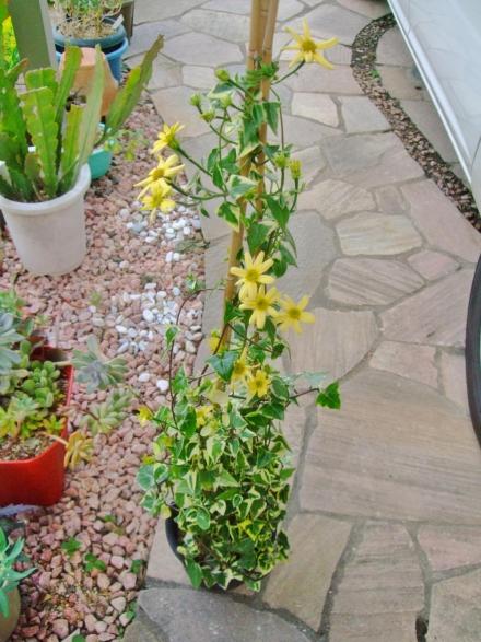 クライミングセネシオ~マーガレットセネシオ(Senecio macroglossus)♪斑入り葉~可愛く開花ちゅう~\(^o^)/2014.05.13