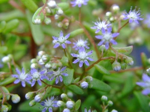 セダム カウルレアのブルーなお花~♪2014.05.16