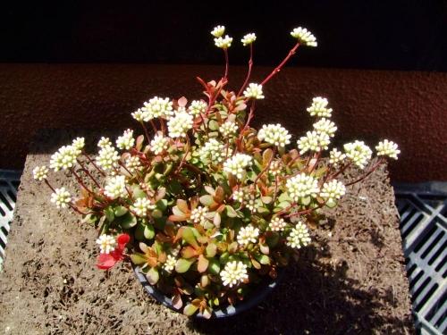 クラッスラ 紅稚児(Crassula 'Benichigo')~真っ赤な紅葉抜けて中途半端に満開中~\(^o^)/2014.04.28