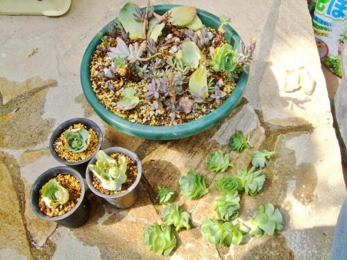 グリーノビア オーレア 玉姫椿(たまひめつばき)(Greenovia aurea) 胴切り頭株と親株からの子吹きがいっぱいです♪子どもを取って挿し木してみます♪2014.04.09