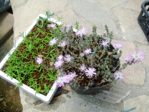 ドロサンセマム 花宝生(ハナホウショウ)・銀緑輝(ギンリョッキ)? (Drosanthemum floribundum )左:挿し木苗、右:枝が伸びている木質化した株。置き場所にとって同じ品がこんなに違います♪2014.05.09