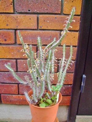 ユーフォルビア グリーンウェイ(Euphorbia greenwayi var. greenwayi)たくさんお花が付きました♪(^-^)♪2014.05.22