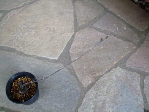 ハオルチア タイガーピグマエア?萎びて凹んでいますが、種ができました♪2014.05.19
