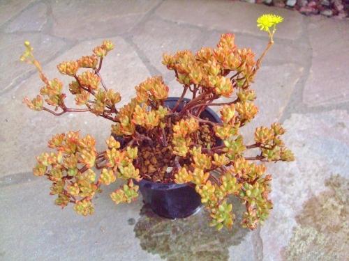 アエオニウム 小人の祭り(Aeonium sedifolium) ~花芽ができて咲き始めました♪黄色な菊咲き花(^-^)2014.05.26
