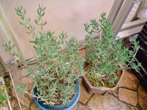 ケンシチア 千歳菊 (Kensitia pillansii)水切れ酷くさせないようにすると調子が良い感じです♪ 1階ビニールハウスで冬越し中♪2014.02.16