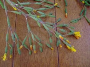 リプサリス~ハチオラ・竜吐水(りゅうどすい)のくびれていないこん棒状茎節~紫色に紅葉します♪2014.04.15