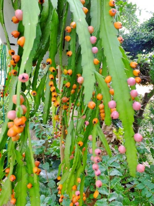 リプサリス・モナカンタ(Rhipsalis monacantha)=レピスミウム・モナカンタム(Lepismium monacanthum) の果実♪鈴なり~(^◇^)2014.08.26
