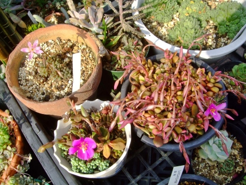 アナカンプセロスのお花は大体午後3時過ぎにポチッと開いてオヨッ?と言う間に閉じます(ToT)/~~~もどかしい咲き方~張り込むけれど満開に遭遇できまへん。2014.06.03