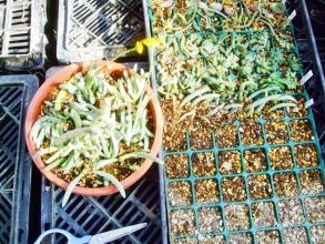 オトンナ オピマ( Othonna opima)かしら不明種?お花が可愛いのでバラバラにして挿し木&葉挿ししてみました♪2014.04.05