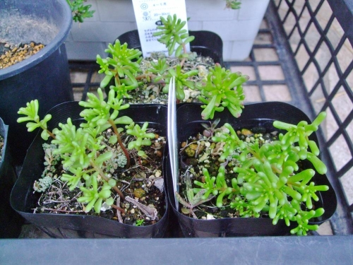 一年草セダム カウルレア(Sedum caeruleum) 去年の開花こぼれ種発芽苗がなんとか育っています♪2014.04.07