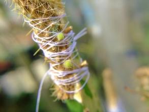 014.04.07~三角柱に接ぎ木した金紐サボテン♪ちょっとだけ新芽が吹いてきました\(^o^)/2014.05.27