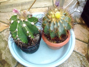 左:アストロフィツム 般若(Astrophytum ornatum)右:フェロカクタス 王冠竜(Ferocactus glaucescens)蕾ながらババンババンバンバ~ン入浴中~♪2014.04.30