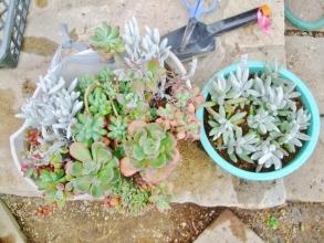 左:セネシオ・銀月~切り戻しした寄せ植え、右:挿し穂を赤玉土単用で挿し木、水やりもたっぷりしました。2014.04.06