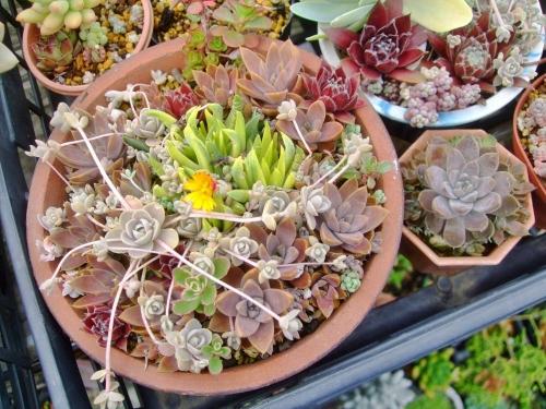 オロスタキス 対馬岩レンゲ(Orostachys japonica 'TUSHIMA') 入りのセンペル他寄せ植え~鉢いっぱいに大きくなっています♪ココア色のオロスタキス\(^o^)/2014.05.27