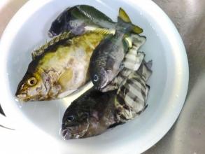 近所の港にて~♪午後3時過ぎから磯釣り♪久々に大漁\(^o^)/刺に痛毒のあるアイゴ(黄金色)、メジナ(黒っぽい)、小石タイ(タテ縞模様)団子釣りしました~♪2014.09.10