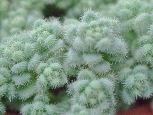 セダム 玉蛋白(たまたんぱく) (Sedum dasyphyllum var. suendermannii) 拡大するとびっしり微毛で覆われセダム ヒントニーみたいです♪2014.05.16