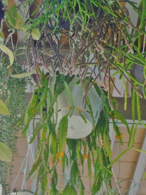 リプサリス・モナカンタ(オレンジ花)、ホリダ(濃緑紫色なもじゃもじゃ茎節)などなど~地味に開花中(^-^)2014.05.31