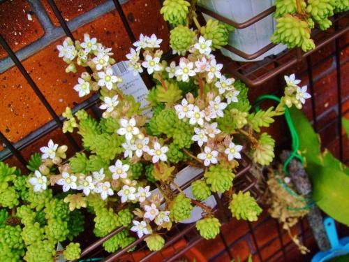 セダム ウィンクレリー(Sedum winkleri)1年中屋外軒下で植え替えもせずモリモリ~お花も咲き始めました\(^o^)/2014.05.27