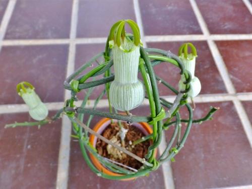 セロペギア・アンプリアータ(Ceropegia ampliata)~葉があまり生えてきませんがお花が咲きました♪2014.08.23