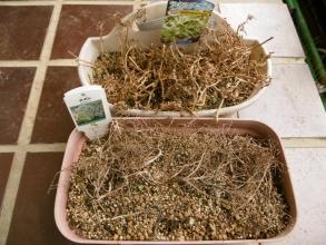 手前~セダム・カウルレア一年草開花の後枯れて種ができています。奥~アイスプランツ~これも一年草、開花後花が種になっています。2014.08.04