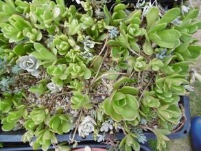 緑が草っぽい玄海岩レンゲ~やや徒長気味でぴょろぴょろですが元気です♪葉焼けせず茂りすぎ~(ToT)/~~~うどんこ病が混み合い過ぎて出る前に株分けしたいです2014.08.08