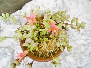 コチレドン・ペンデンス(cotyledon pendens Van Jaarsv)垂れ下がる小型のコチレドン♪葉が疎らですが濃い朱色の花が咲いています♪2014.08.10