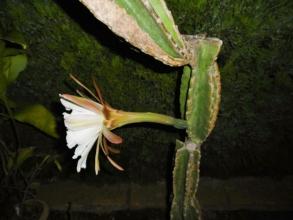 鬼面角(刺の無いタイプ、ヌーダム)(Cereus hildmannianus cv. nuda) 長~い花首です♪26cm2014.08.15