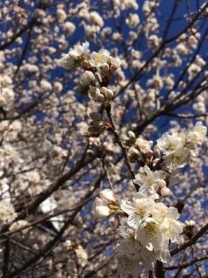 2014-03-23-sakura.jpg