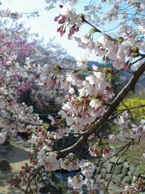 2014-04-14-sakura.jpg