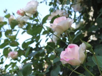 2014-05-09-rose-02.jpg