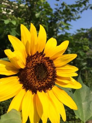 2014-07-25-sunflower-01.jpg