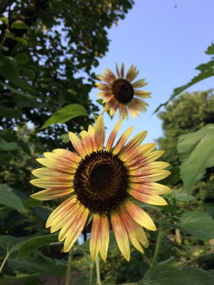 2014-07-25-sunflower-02.jpg