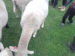 羊の大行進2
