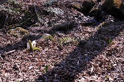 竜神池の水芭蕉2