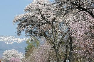縄文の湯の桜並木 (1)