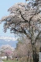 縄文の湯の桜並木 (2)