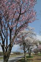 縄文の湯の桜並木 (3)