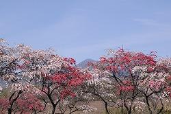茅野市 豊平の花桃 (1)