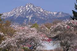 茅野市 豊平の花桃 (6)