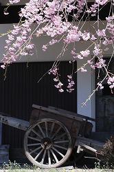 原村郷土資料館の桜 (5)
