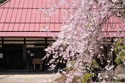 原村郷土資料館の桜 (7)