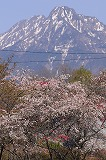 茅野市 豊平の花桃 (2)
