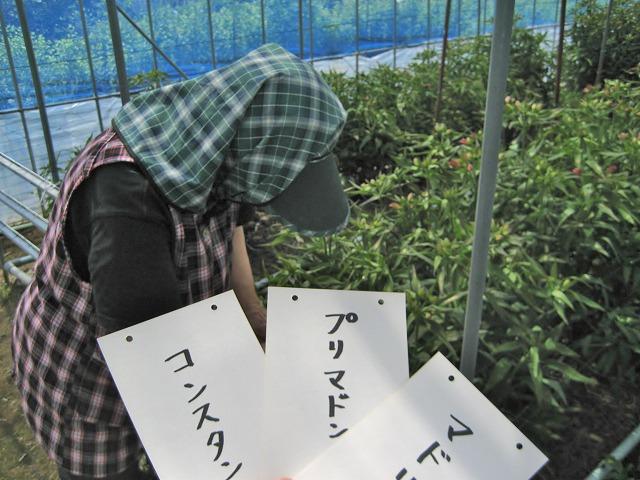 20140715篠原園芸トマトスタート (16)