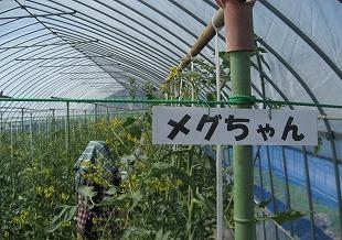 20140715篠原園芸トマトスタート (22)